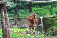 Het leven van orangoetans Royalty-vrije Stock Afbeeldingen