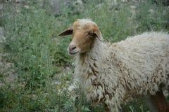 Het leven van schapengezicht stock foto