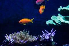 Het levendige kleurrijke aquatische leven in donker vertoningsaquarium Royalty-vrije Stock Foto