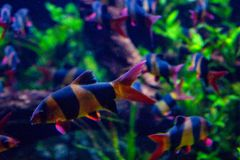 Het levendige kleurrijke aquatische leven in donker vertoningsaquarium royalty-vrije stock foto's