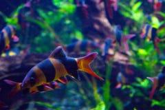 Het levendige kleurrijke aquatische leven in donker vertoningsaquarium Royalty-vrije Stock Afbeeldingen