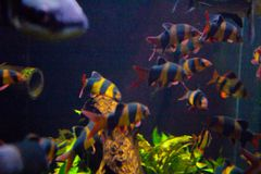 Het levendige kleurrijke aquatische leven in donker vertoningsaquarium stock afbeelding