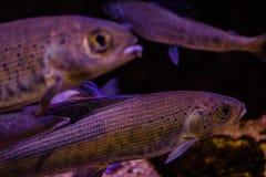 Het levendige kleurrijke aquatische leven in donker vertoningsaquarium stock fotografie