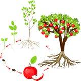 Het levenscyclus van appelboom stock illustratie