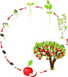 Het levenscyclus van appelboom Royalty-vrije Stock Foto's