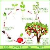Het levenscyclus van appelboom Royalty-vrije Stock Fotografie