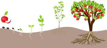 Het levenscyclus van appelboom royalty-vrije illustratie