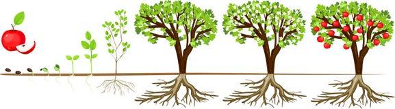 Het levenscyclus van appelboom Stadia van de groei van zaad aan volwassen installatie met vruchten stock illustratie