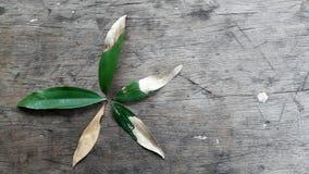 Het levenscyclus van de vormen van een acaciablad zoals een bloem Royalty-vrije Stock Foto
