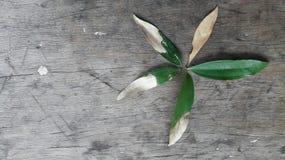Het levenscyclus van de vormen van een acaciablad zoals een bloem Stock Foto