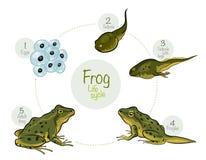 Het levenscyclus van een kikker Stock Foto