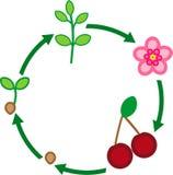 Het levenscyclus van kersenboom vector illustratie