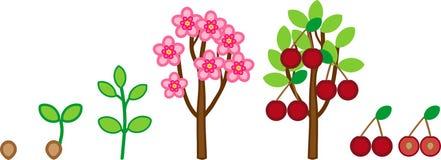 Het levenscyclus van kersenboom Het stadium van de installatiegroei van zaad aan boom met vruchten vector illustratie