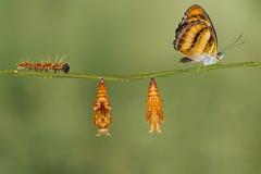 Het levenscyclus van kleuren het segeant vlinder hangen op takje Royalty-vrije Stock Afbeelding