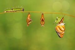 Het levenscyclus van kleuren het segeant vlinder hangen op takje Stock Afbeeldingen