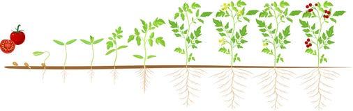 Het levenscyclus van tomatenplant Stadia van de groei van zaad en spruit aan volwassen installatie met vruchten stock illustratie