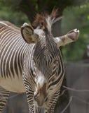 Het lezen tussen de Lijnen--Zebra in Nationaal Z Stock Foto's
