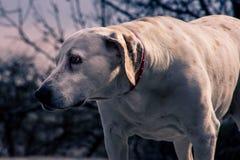 Het lichaam die van Labrador aan de rechterkant met bl kijken stock foto