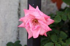 Het licht aan donkere roze nam met volledig open bloeiende bloemblaadjes toe die met pointy donkergroene bladeren worden omringd  stock foto's