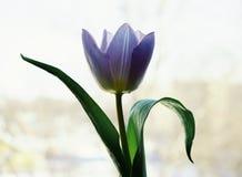 het licht van het het close-upvenster van de bloemtulp Stock Fotografie