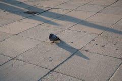Het licht van de de slaapzonsondergang van de duifvogel stock afbeeldingen