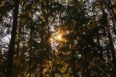 Het licht van de zon bij zonsondergang door de kroon van sparren in het bos stock fotografie