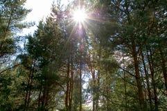 Het licht van de zon doordringt de kronen van de pijnbomen royalty-vrije stock fotografie