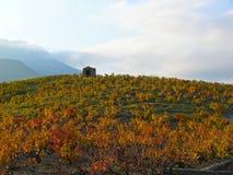 Het licht van de zonsondergang in de wijngaard Stock Foto's