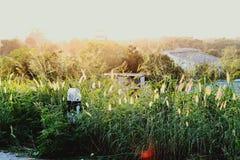 Het licht van de zonsondergang wijst op het bloeiende gras langs de manier stock foto's
