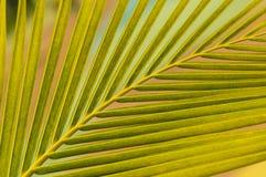 Bladeren van kokospalm Royalty-vrije Stock Foto's