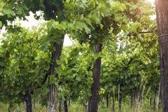Het lichte glanzen door de wijngaard bij zonsopgang Royalty-vrije Stock Afbeelding