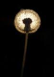 Het lichte krijgen door een dandelionackachtergrond. Royalty-vrije Stock Afbeelding