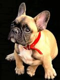 Het lichtgeele puppy ontmoet thuis me Stock Foto