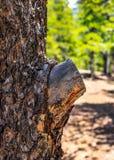 Het Lidmaat van de besnoeiingsboom royalty-vrije stock foto