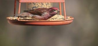 Het Liedvogel van de zomertanager Royalty-vrije Stock Foto