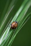 Het lieveheersbeestje beklimt op Gras Stock Fotografie