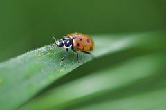Het lieveheersbeestje beklimt op Gras Royalty-vrije Stock Afbeeldingen