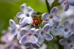 Het lieveheersbeestje en lilac bloemen, hebben vijf bloemblaadjes royalty-vrije stock afbeelding