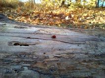 Het lieveheersbeestje kruipt langs de boom Houten Textuur royalty-vrije stock fotografie