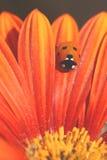 Het lieveheersbeestje kruipt op Oranje Bloemblaadje Stock Afbeeldingen