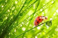Het lieveheersbeestje op een met dauw bedekt gras. Royalty-vrije Stock Afbeeldingen