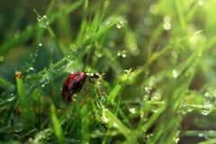 Het lieveheersbeestje op een met dauw bedekt gras