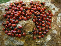 Het lieveheersbeestje van kolonieinsecten Royalty-vrije Stock Afbeeldingen