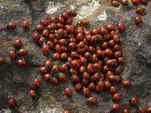 Het lieveheersbeestje van kolonieinsecten Royalty-vrije Stock Foto