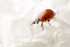 Het lieveheersbeestje van Nice op grote witte bloesem Stock Afbeeldingen