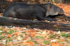 Het liggen Baird tapir stock afbeelding