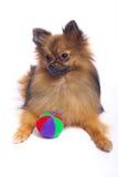 Het liggen Duitse Spitz binnen met een kleurenbal Stock Foto's