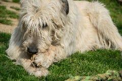 Het liggen eet de witte Ierse Wolfshondhond been op het gras De gelukkige volwassen hond knaagt aan een been in de tuin op het ga royalty-vrije stock foto