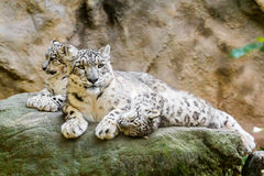 Het liggen familie van de Luipaard van de Sneeuw Royalty-vrije Stock Foto's