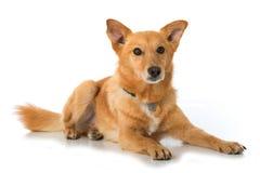 Het liggen gemengde rassenhond op witte achtergrond Royalty-vrije Stock Afbeelding